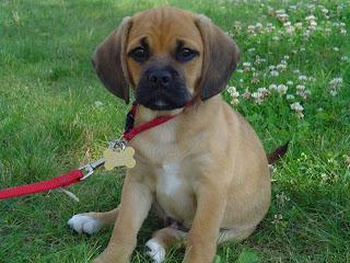 Puggle, bestehend aus Beagle und Mops :D
