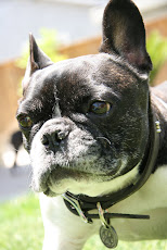 Our French Bulldog... Beau