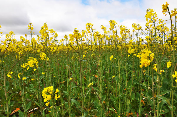 A bit of everything fields of gold vivid yellow flowers in spring make canola the most distinctive of victorias winter crops walk close to a canola crop in flower and the strong cabbage mightylinksfo Images