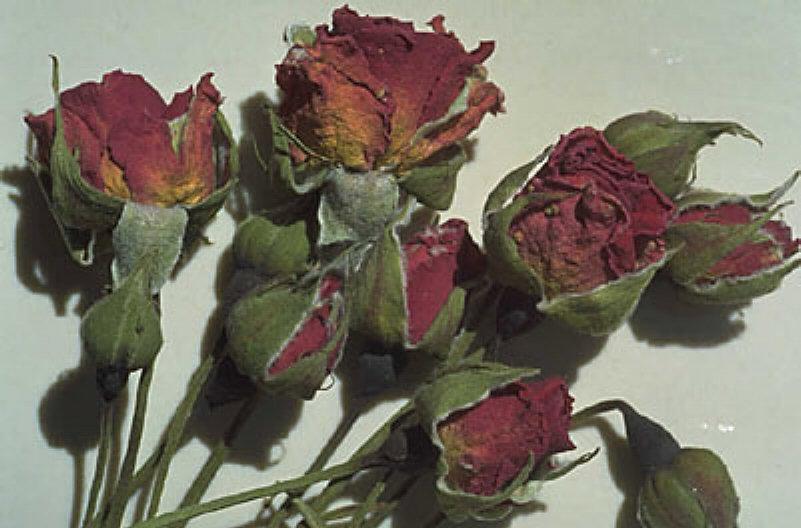 தியாக மலரே... Withered+red+roses