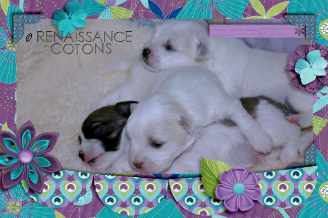 ♥Renaissance Coton Puppy♥