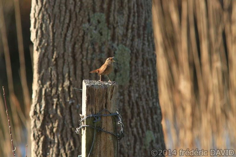 oiseau nature troglodyte mignon marais Misery Essonne