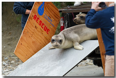 Northern Elephant Seal pup makes her way down the ramp