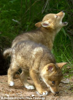 White Wolf : Adorable coyote pups learn to make their ...