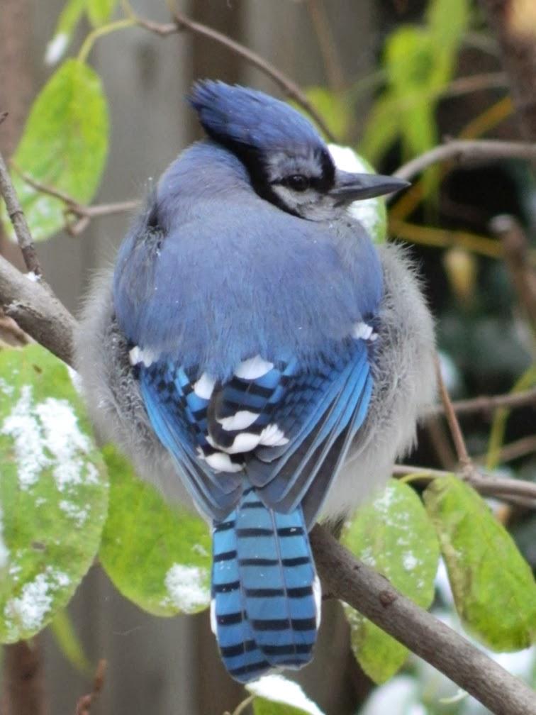 Cyanocitta cristata early winter Blue Jay by garden muses-a Toronto gardening blog