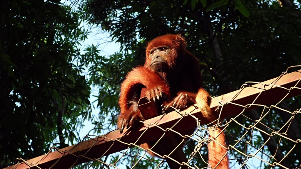 Howler Monkey Rescue. Forget-me-not .: February 2013