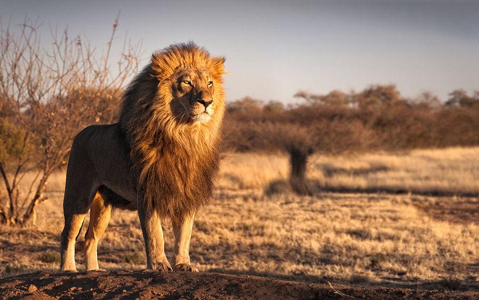 Animales - Leon - Felinos - Así es el Rey. Hermoso, Imponente y Majestuoso.