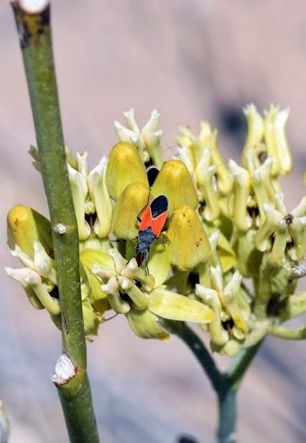 Melanopleurus belfragei, Hemiptera 298