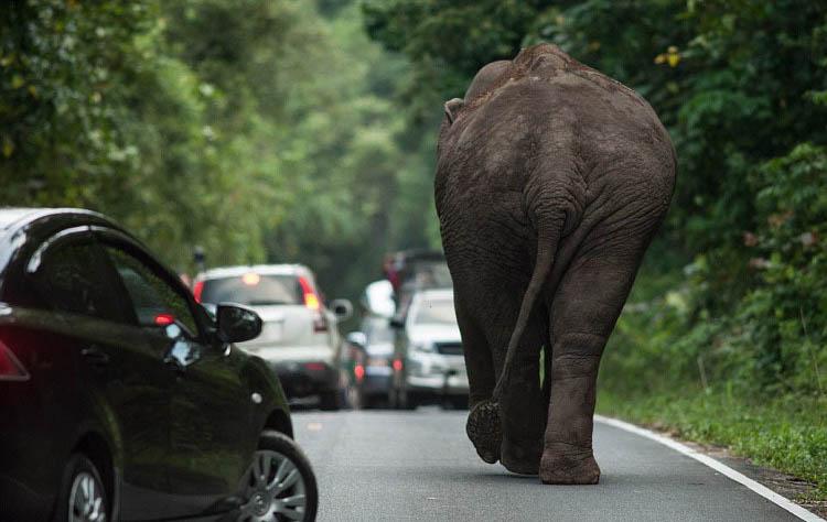 фотография слона сзади
