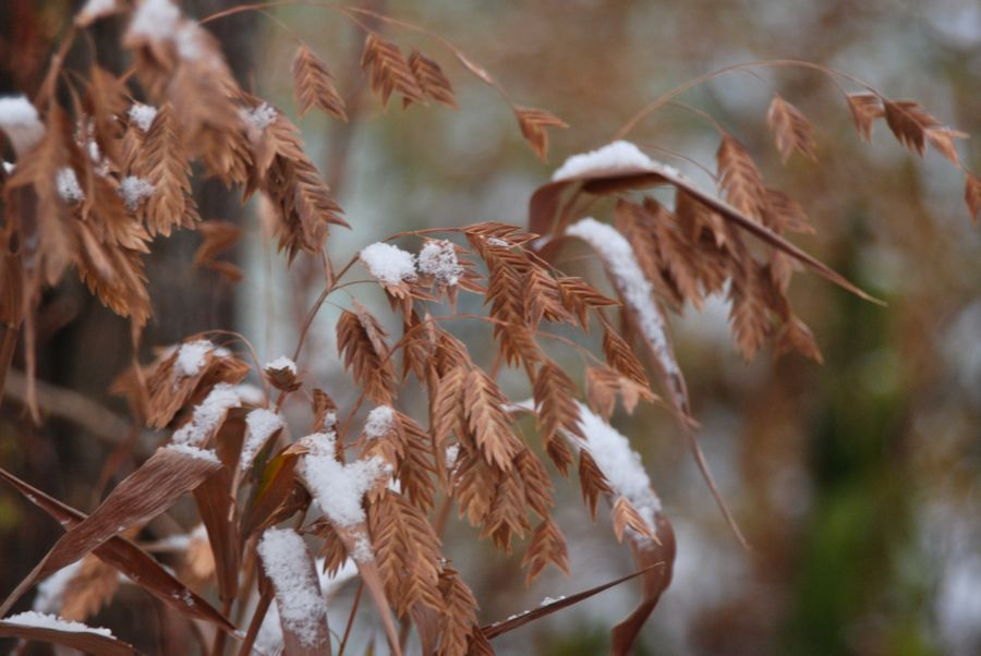 Northern sea oats (Chasmanthium latifolium) with snow near the Circle Lawn.