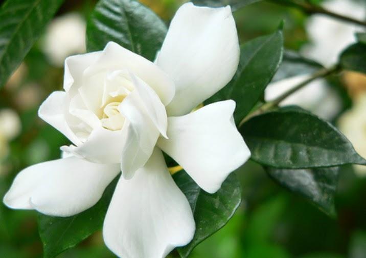 10 Gambar Bunga Melati Putih | Gambar Top 10