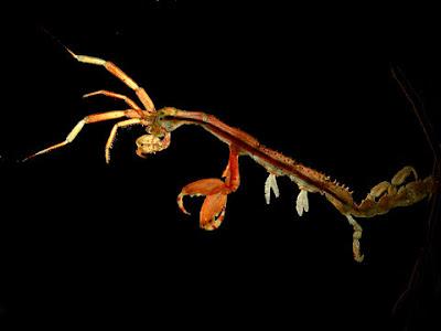 Caprellidae