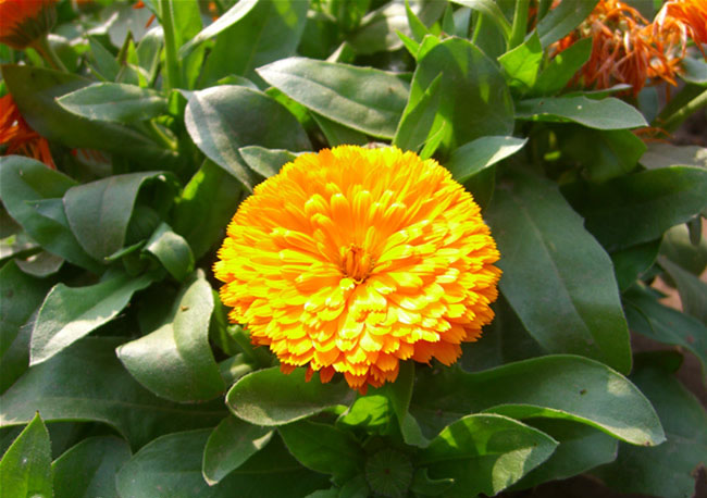 Calendula Flowers Pictures