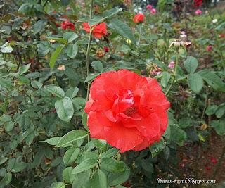 bunga mawar merah di taman