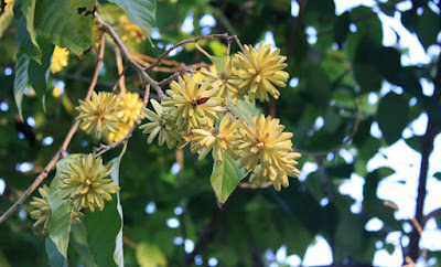 Xi Shu (Camptotheca Acuminata) Overview, Health Benefits, Side effects