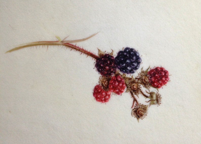 Blackberries watercolour painted on kelmscot vellum