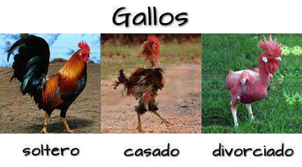 ESTADO CIVIL GALLOS SOLTERO CASADO DIVORCIADO