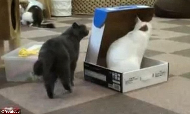 Kucing kurung kucing dalam kotak