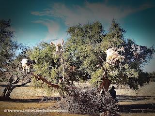 Cabras que trepan por los arboles en Marruecos
