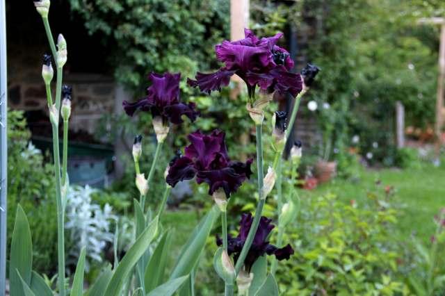 Je suis au jardin ma restanque proven ale - Iris ne fleurissent pas ...