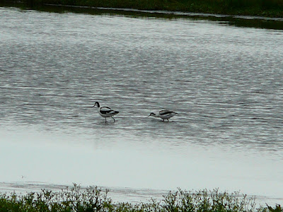 ad and juv Avocet, Martin Mere