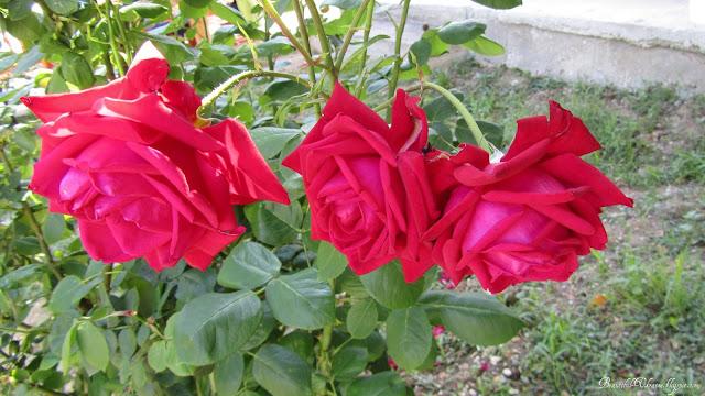 Розы. Кафе Ласпинский перевал