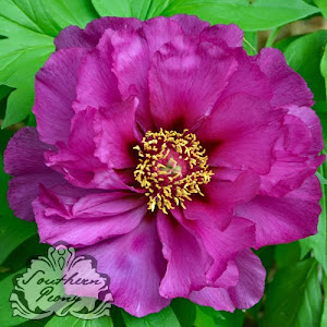Intersectional Peony 'Morning Lilac'