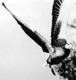 "Ánsar común (Anser anser) remontando el vuelo con las alas extendidas hacia arriba en forma de ""v"". Detalle de fotografía de Héctor Garrido - www.hectorgarrido.com. ©Héctor Garrido"