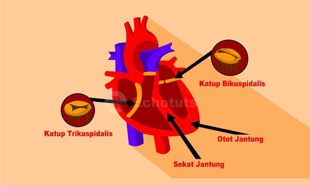 Macam - Macam Katup di dalam Jantung Trikuspidalis dan bikuspidalis - Biologi - Echotuts