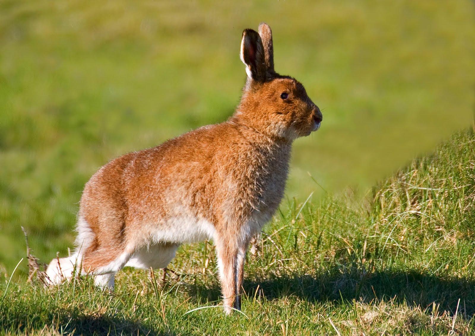 Irish Hare ( Lepus timidus hibernicus ): irishwildlifephotography.blogspot.com/2011/03/irish-hare.html