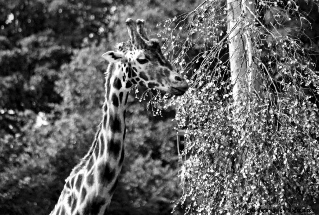 Black and White Giraffe