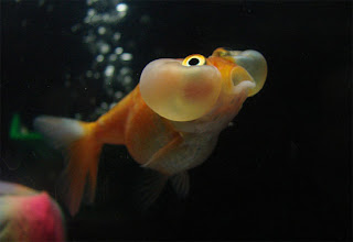 Bubble Eye Goldfish image
