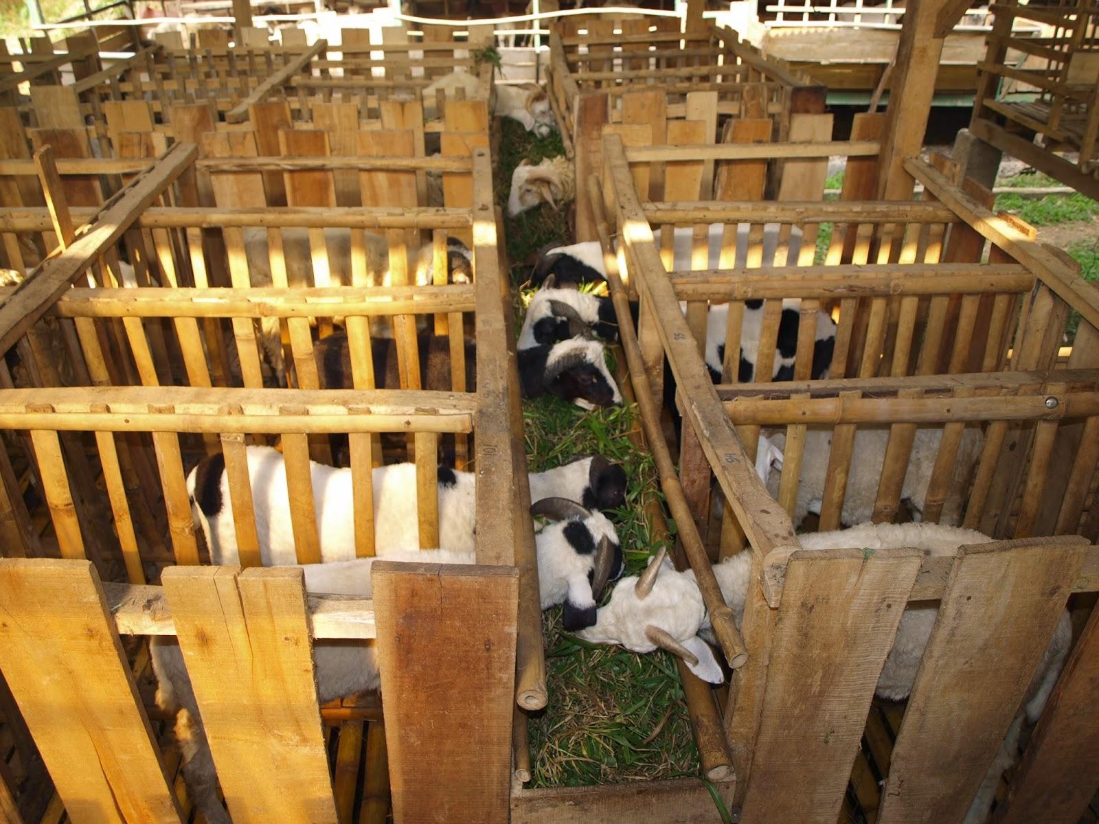 Cara Penggemukan Ternak Kambing, Cara Termudah Dan Simple