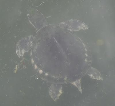 Pig-nose Turtle (Carettochelys insculpta)