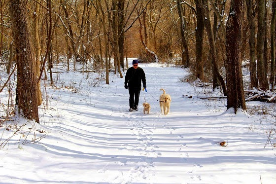 A man walking two dogs in a snow path