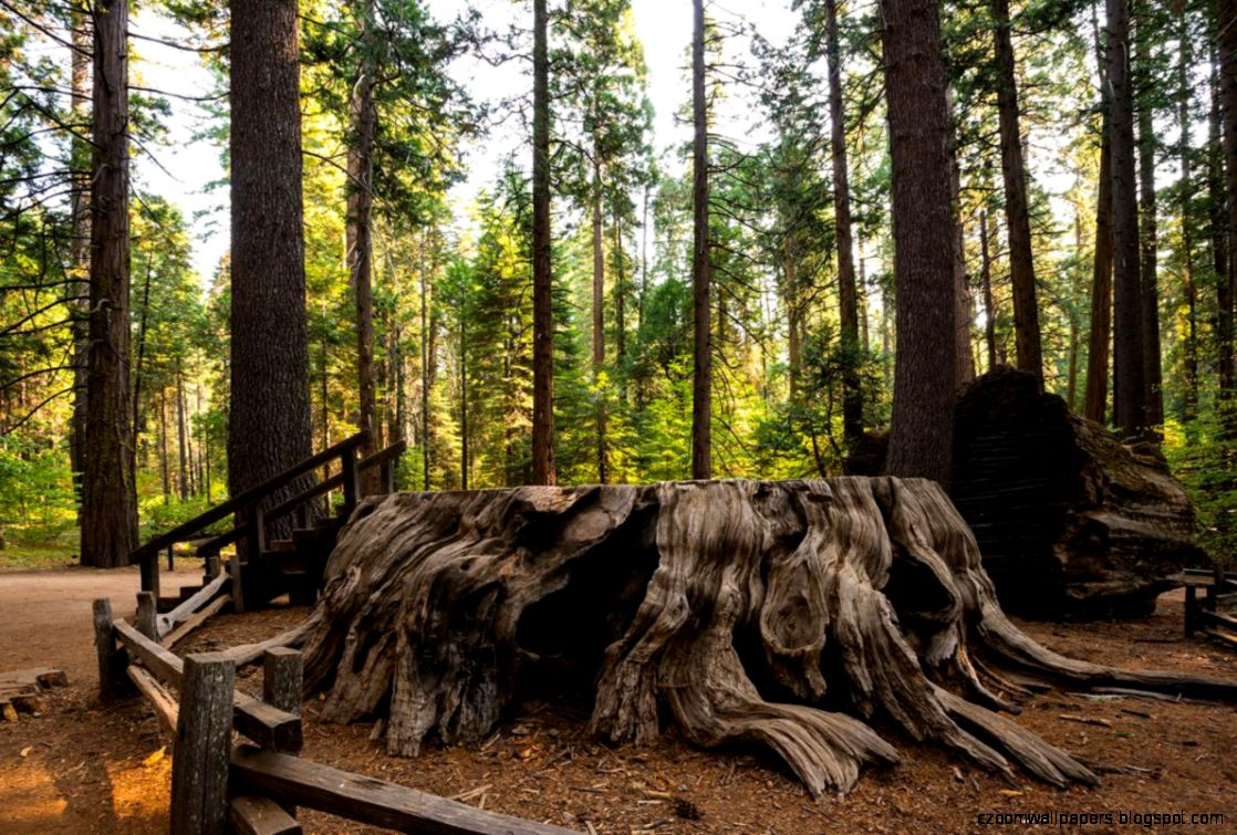 See 10 Remarkable Trees Each With a Special Story to Tell   THE