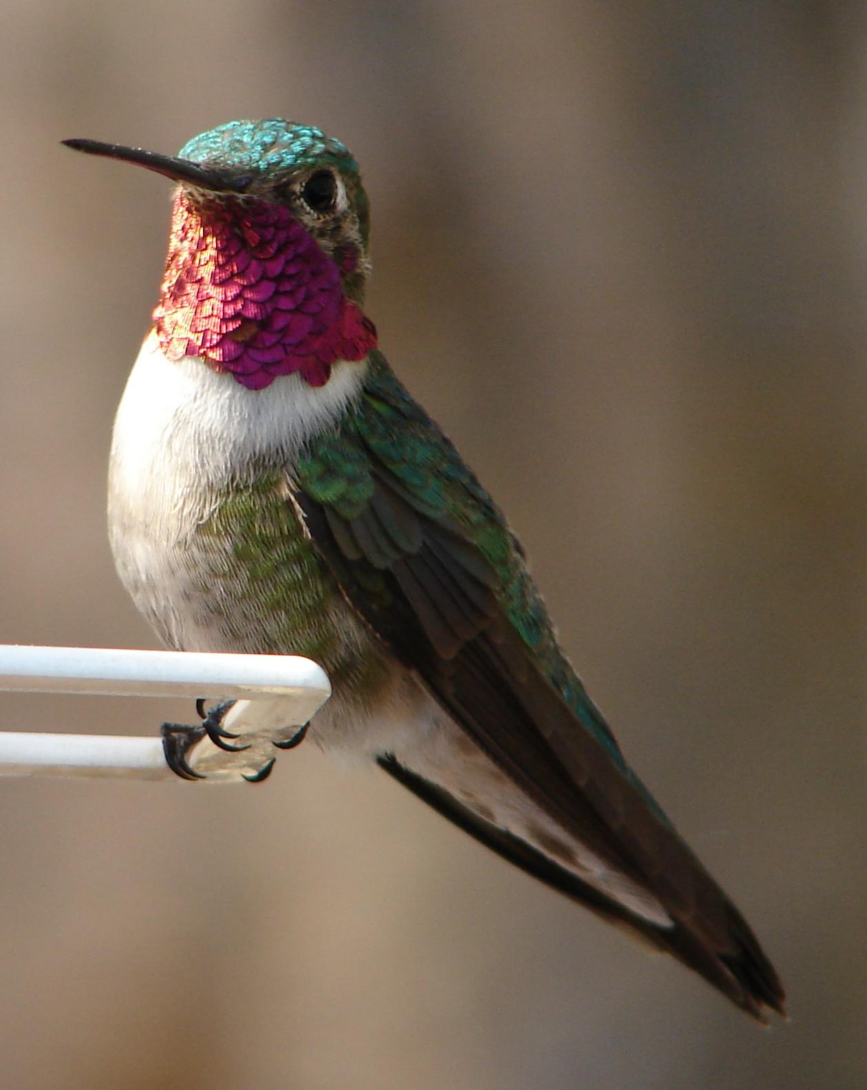 http://3.bp.blogspot.com/-SoVTEkoxh_c/Tmuli7-6IrI/AAAAAAAATiE/FIp8IL9orJs/s1600/Male_Ruby-Throated_Hummingbird.jpg