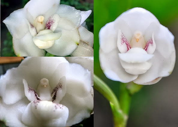 It is named as Holy Ghost Orchid because of the resemblance of the flower to the dove.