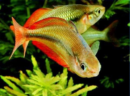 Ditemukan Spesies Ikan Pelangi di Sorong