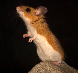 Deer Mouse – Perymyscus maniculatus
