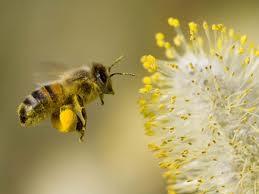 Primele masuri pe care trebuie sa le luam dupa ce ne inteapa o albina