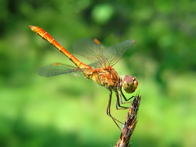 Amazing Dragonfly Inse...