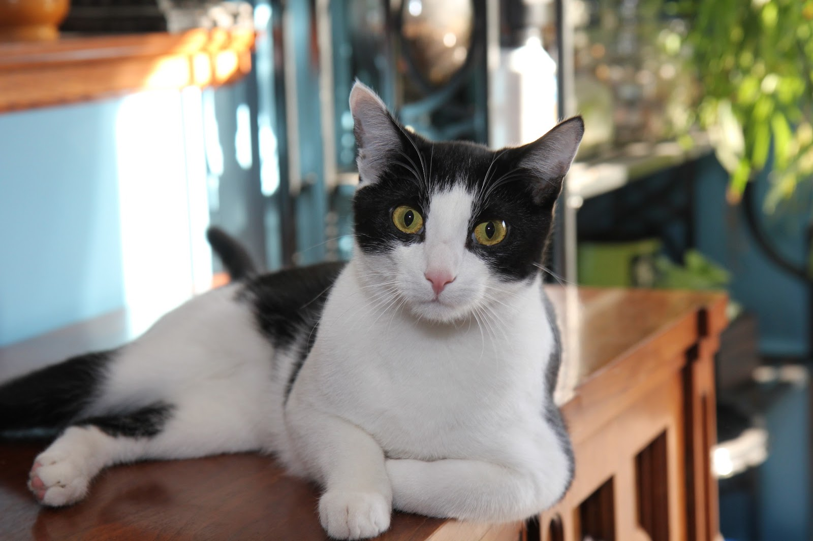 A relaxed tuxedo cat