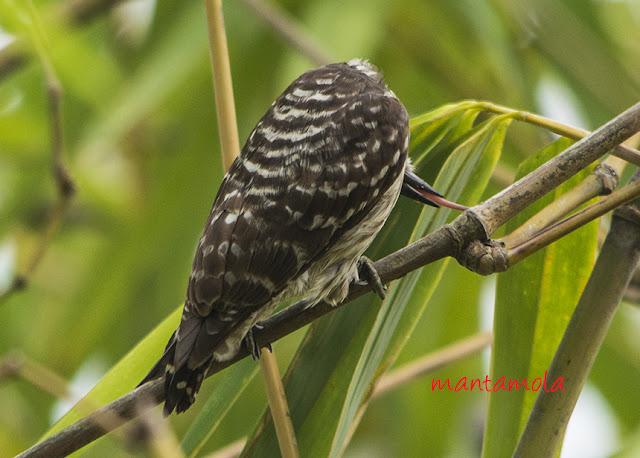The Sunda Pygmy Woodpecker (Dendrocopos moluccensis)