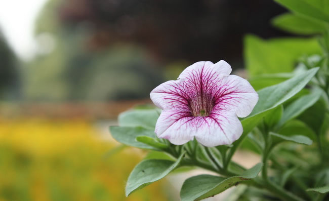 Petunia Flowers Pictures
