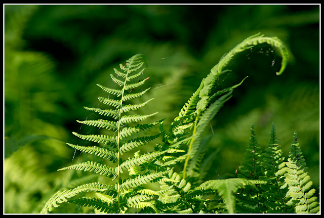 Nova Scotia, Gaff Point; Fern