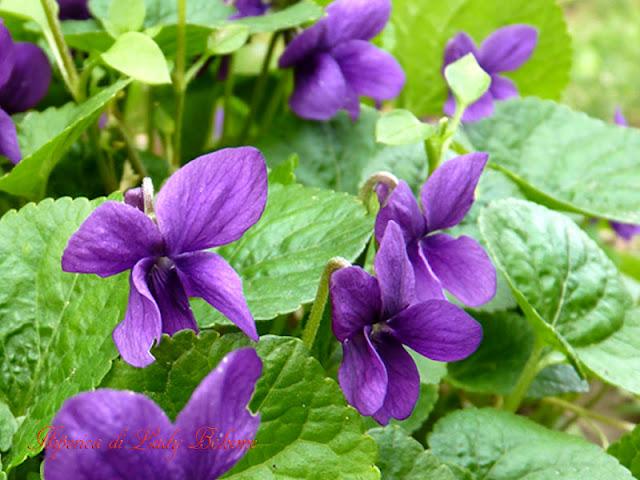 hiperica_lady_boheme_blog_di_cucina_ricette_gustose_facili_veloci_violette_selvatiche