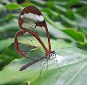 Mariposas de Alas de Cristal