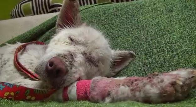 A inspiradora história do resgate de Miley, uma filhote de husky abandonada e deixada para morrer em um monte de lixo