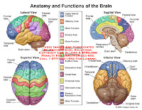 Brain Diagram And Functions1